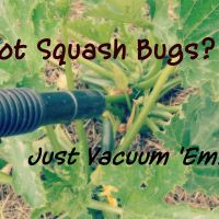 Getting Rid of Squash Bugs