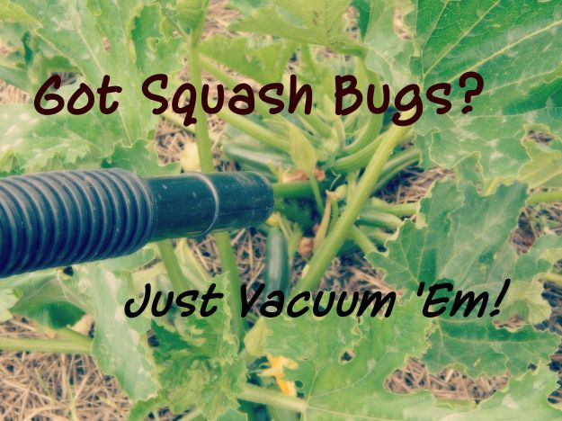 Got Squash Bugs?  Just Vacuum 'Em!