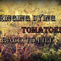 Bringing Dying Tomatoes Back to Life