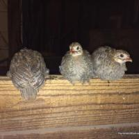 Our Guinea Keets Are Growing