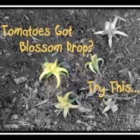 Treating Blossom Drop in Tomatoes