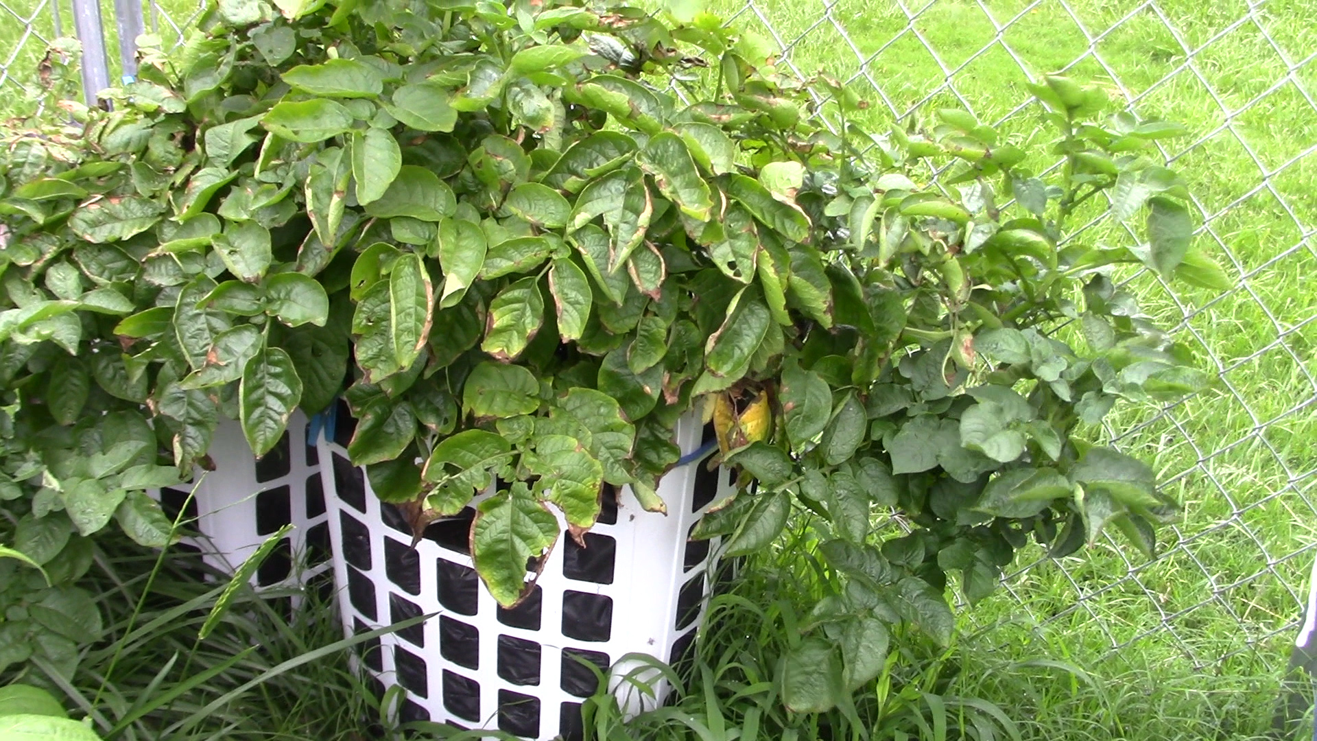 Update On Her Potatoes She Grows In Laundry Baskets A Container Garden Tour