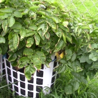 Container Garden Tour || An Update On Her Potatoes She Grows In Laundry Baskets